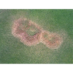 Brown-patch-rhizoctoniose